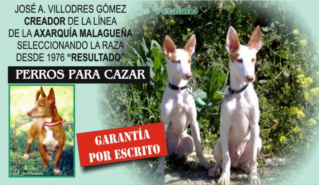 Podenco Andaluz Perros Para Cazar En Venta Comprar