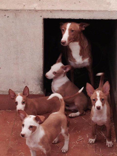 Cachorros de Podenco Andaluz. La paciencia es la madre de la ciencia