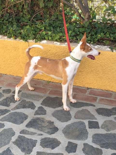 ¿Cómo pueden ser los cachorros de Podenco Andaluz que solemos criar?