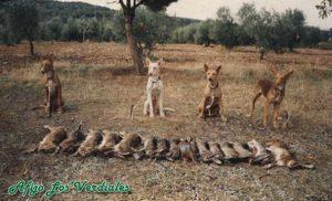 Podenco Andaluz Caza 029