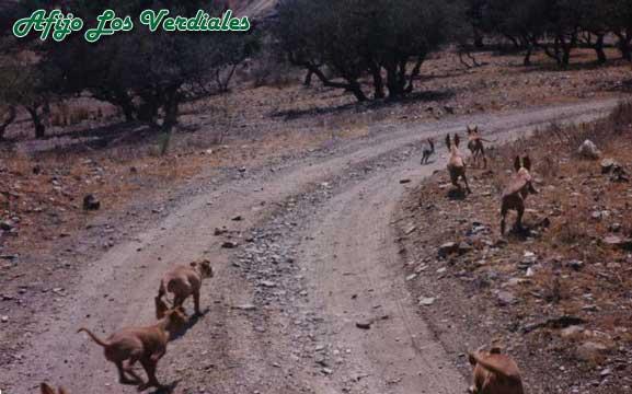 Podenco Andaluz Caza 030