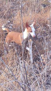 Podenco Andaluz Perros excelentes para personas excelentes 001