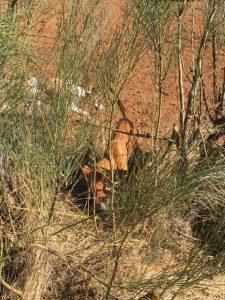 cazando con Podenco Andaluz desde el año 1974 3