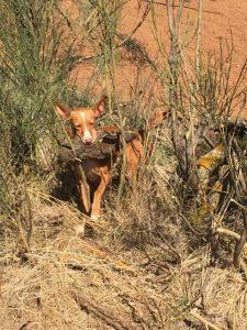 cazando con Podenco Andaluz desde el año 1974 4