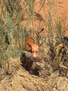 cazando con Podenco Andaluz desde el año 1974 5